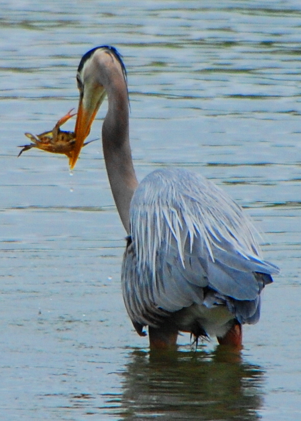 Great Blue Heron and Crab
